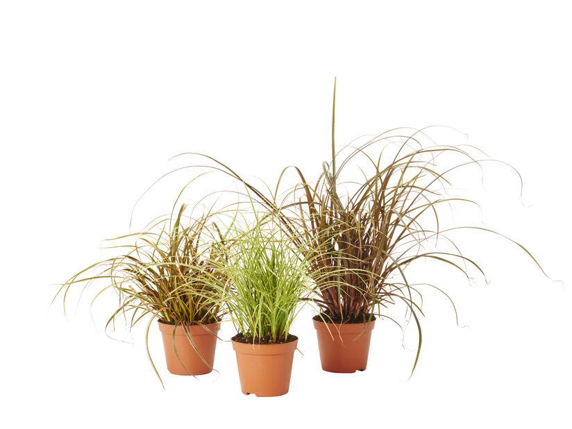Prydnadsgräs, Ø9 cm, Flera färger