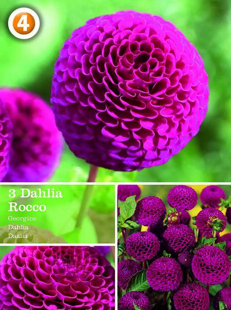 Dahlia 'Rocco', pompondahlia