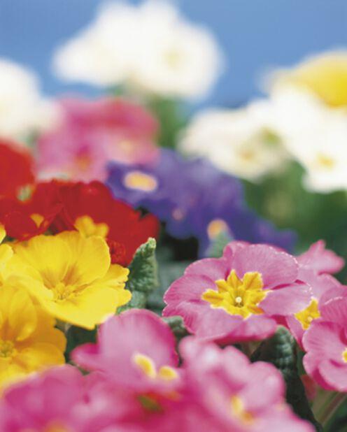 Jordviva, Ø10.5 cm, Flera färger