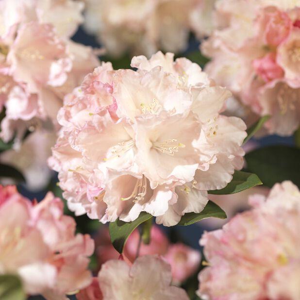 Yakushimanum-rododendron Dreamland