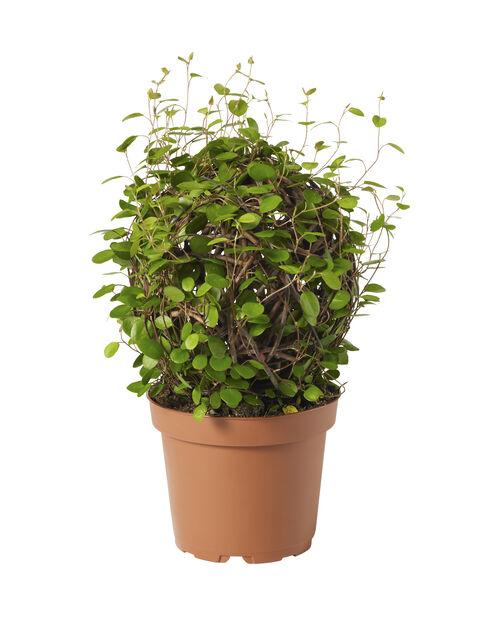 Plättar , Höjd 25 cm, Grön