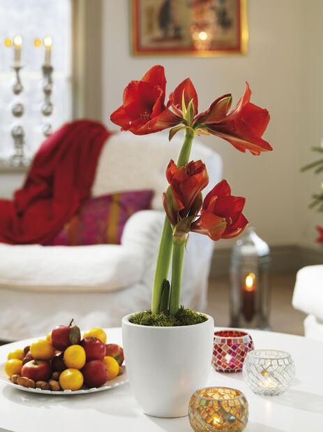 Amaryllis 2-stänglad, Ø13 cm, Röd