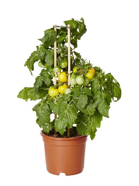 Cherrytomat, Ø14 cm, Vit