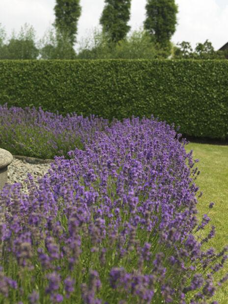 Lavendel 12cm