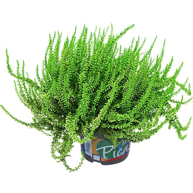 Ljung färgad, Ø12 cm, Grön