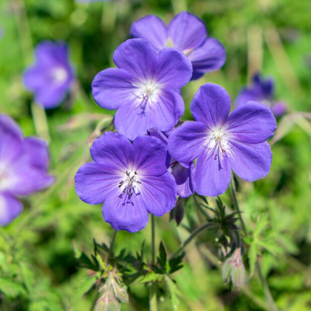 Näva  'Johnson's Blue' , Ø17 cm, Blå