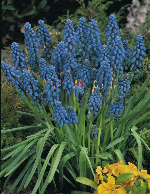 Pärlhyacint 'Blue', Flera färger