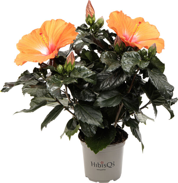 Hibiskus, Höjd 25 cm, Orange
