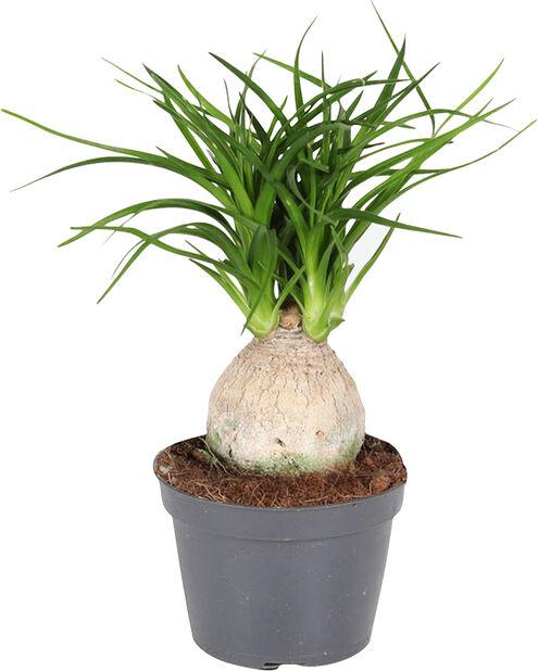 Grönväxt mini , Höjd 12 cm, Grön