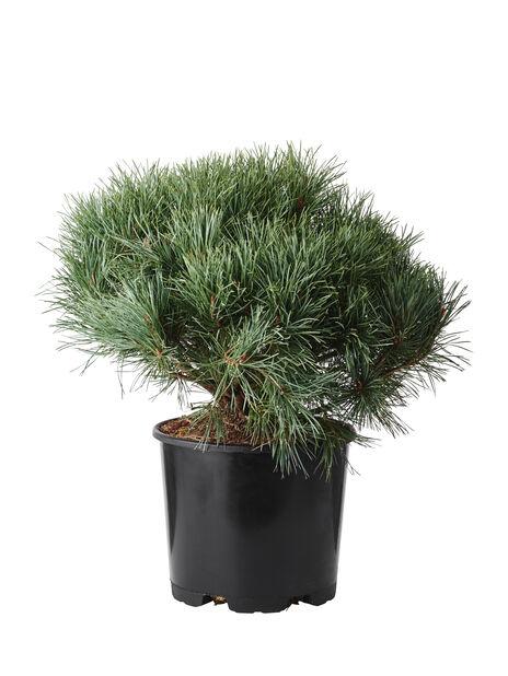 Dvärgtall 'Watereri', Höjd 50-60 cm, Grön