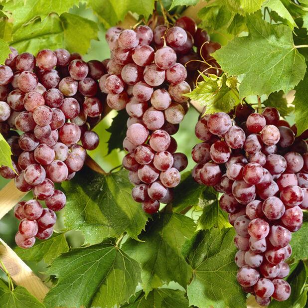 Labruskavin 'Spulga', Ø17 cm, Röd