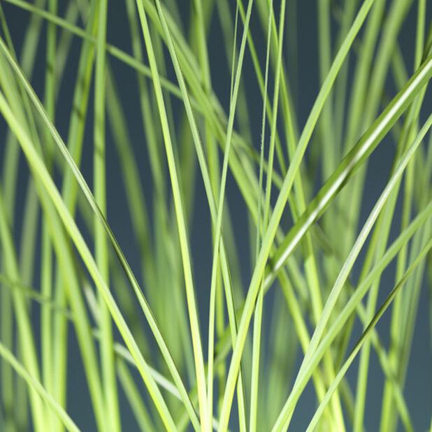 Glansmiskantus 'Gracillimus', Ø24 cm, Grön