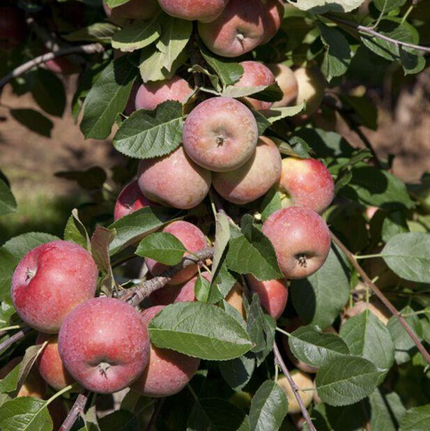 Äpple 'Gyllenkroks Astrakan' E, Höjd 180 cm, Röd