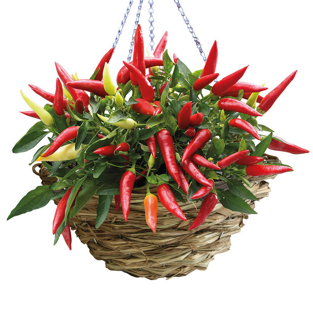 Chili i ampel, Ø25 cm, Röd