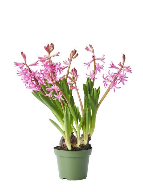 Hyacint, Ø10.5 cm, Flera färger