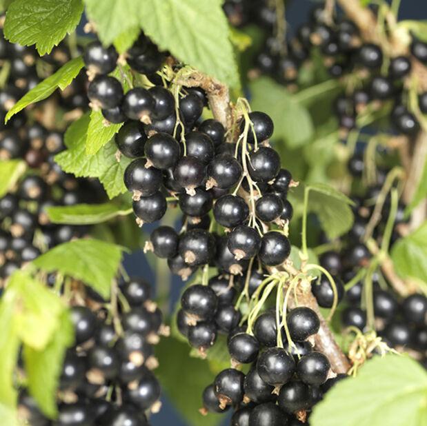 Svarta vinbär 'Öjebyn' på stam, Höjd 80 cm, Svart