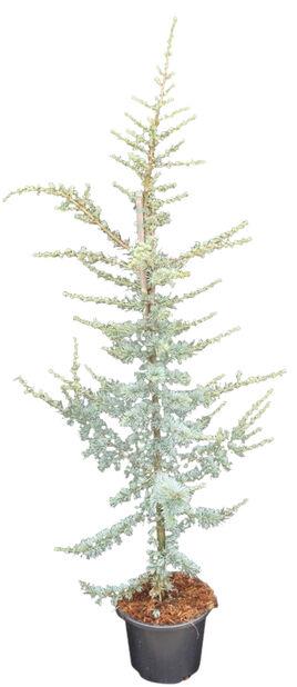 Blå atlasceder 'Glauca' 30 cm