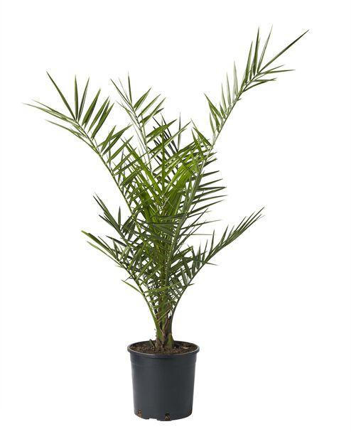 Kanariepalm, Ø19 cm, Grön