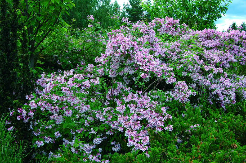 Paradisbuske, Höjd 40 cm, Rosa
