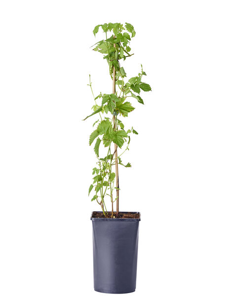 Humle 'Nordbrau', honplanta, Ø17 cm, Grön