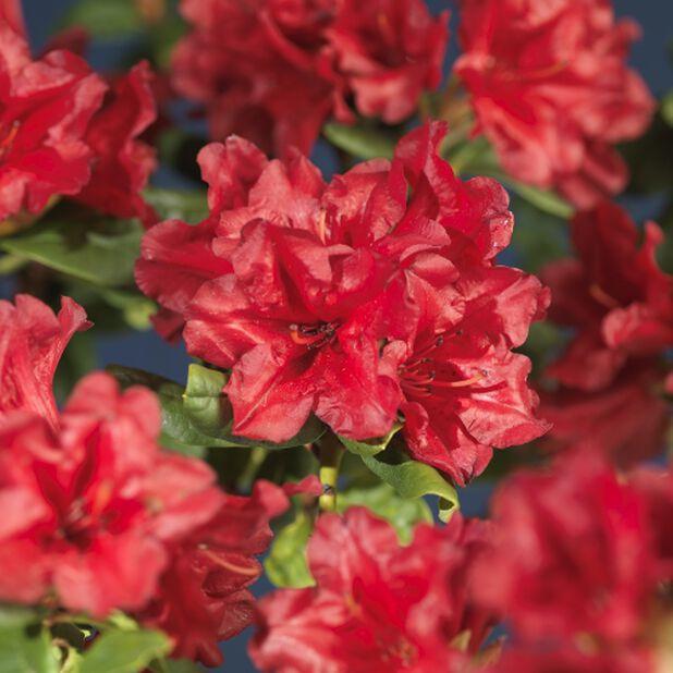 Forrestii-rododendron 'Scarlet Wonder', Ø19 cm, Röd