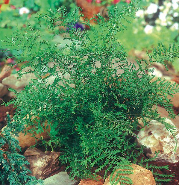 Träjon, Höjd 15 cm, Grön