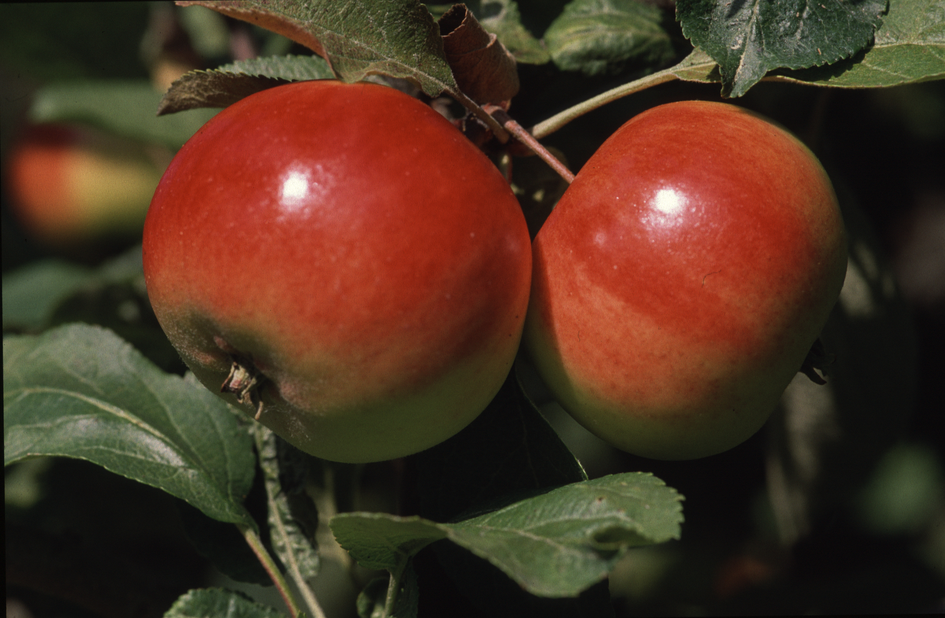 Äpple 'Rött Kaneläpple' 7L