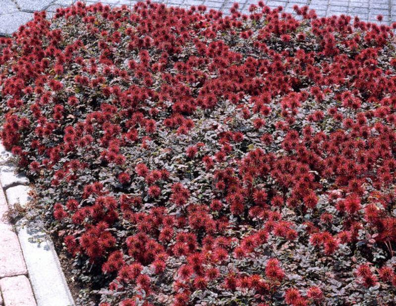 Brun taggpimpinell 'Kupferteppich', Ø11 cm, Röd