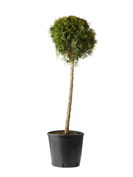 Tuja 'Smaragd' boll, Höjd 100 cm, Grön