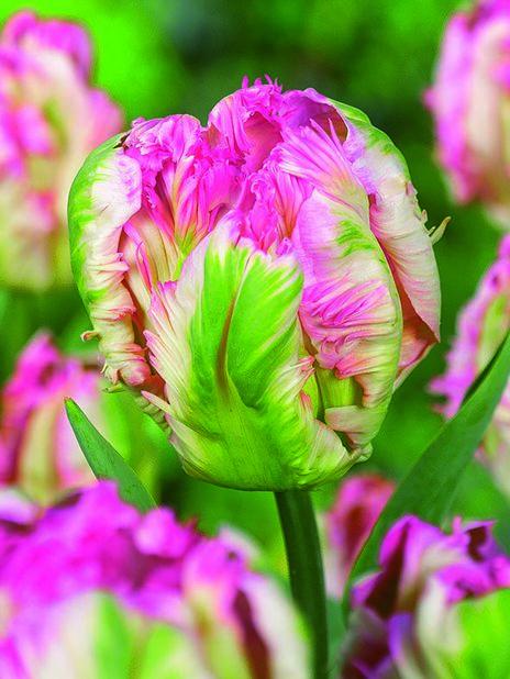 Papegojtulpan 'Pink Vision', Rosa