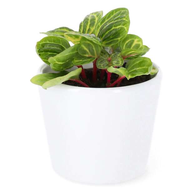 Höblomster mini, Höjd 10 cm, Flerfärgad