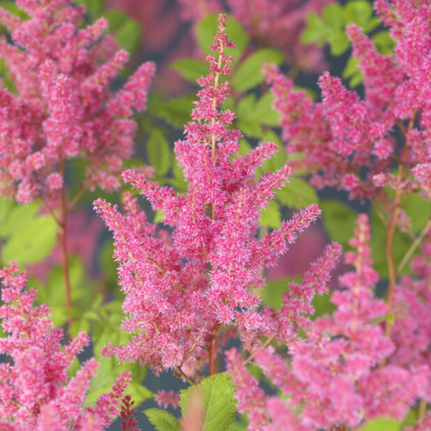 Astilbe 'Younique c', Höjd 40 cm, Lila