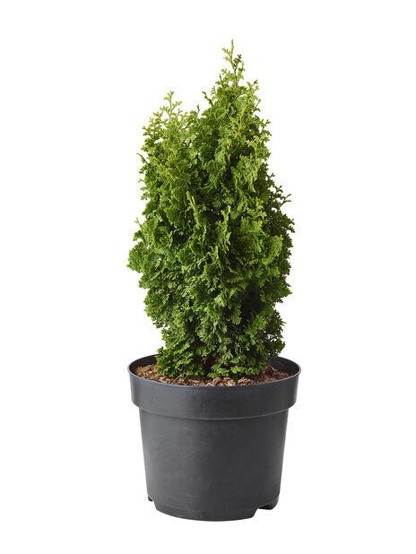 Tuja 'Zmatlik', Höjd 40 cm, Grön