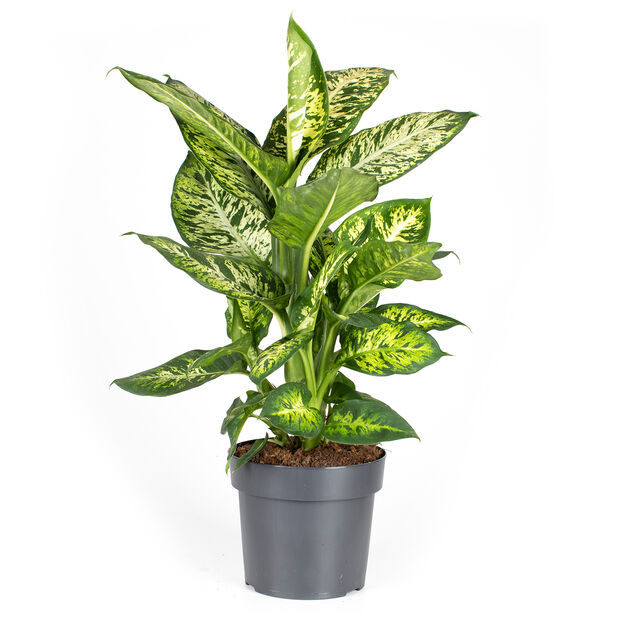 Prickblad 'Sublime' , Höjd 100 cm, Grön