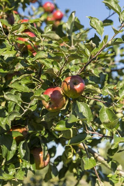 Äpple 'Katja' 12L
