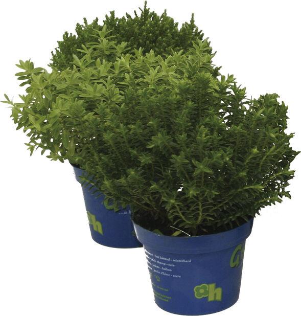 Hebe 'Green Boys', Ø12 cm, Flera färger