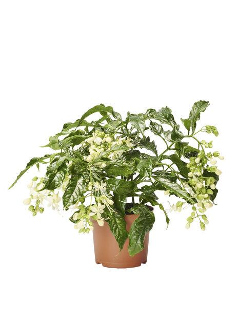 Slöjklerodendrum