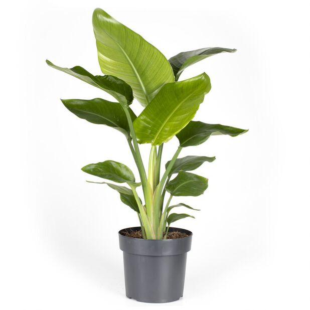 Strelitzia nicolai, Höjd 85 cm, Flerfärgad