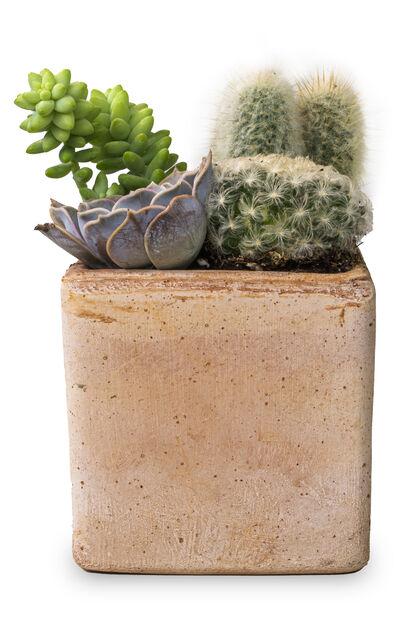 Kaktus och suckulent i kruka, Höjd 20 cm, Grön