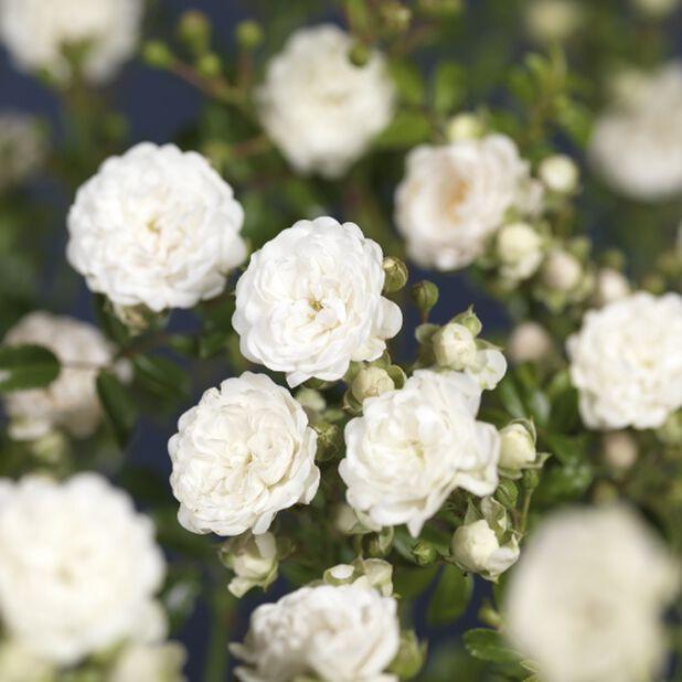 Christal Fairy - Marktäckande ros