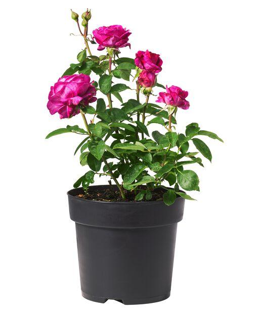 Klasblommig ros 'Heidi Klum', Ø23 cm, Rosa