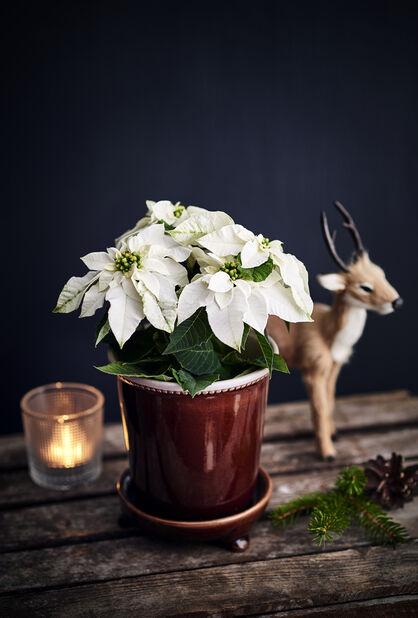 Flergrenad julstjärna 12 cm vit
