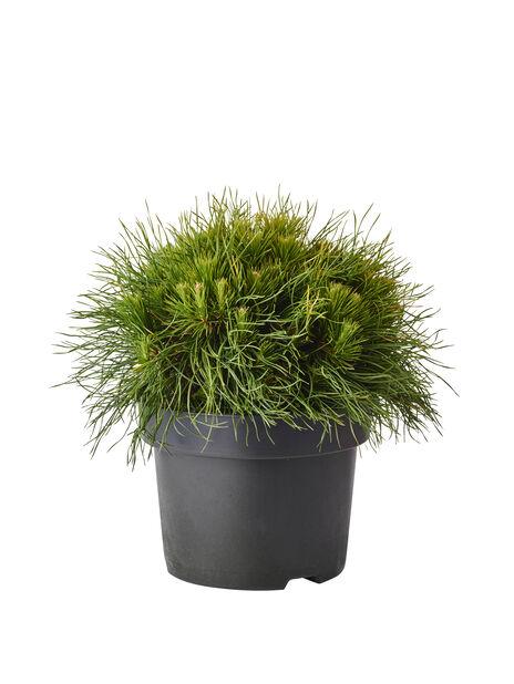 Bergtall 'Varella', Höjd 30 cm, Grön