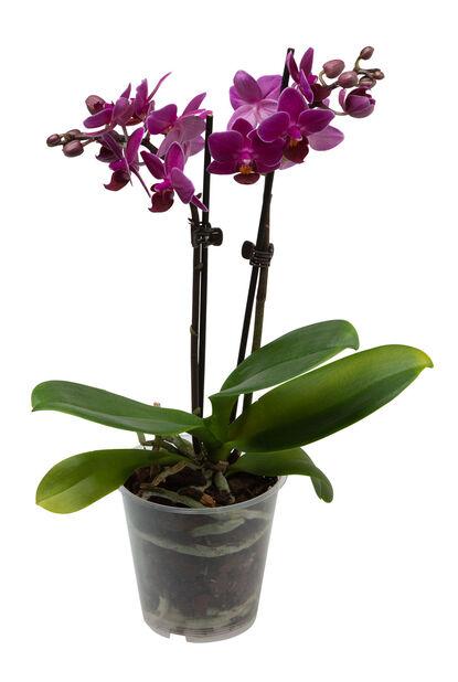 Brudorkidé , Höjd 25 cm, Flera färger