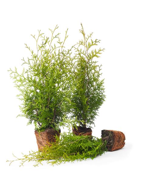 Häcktuja 'Brabant', Höjd 50-70 cm, Grön