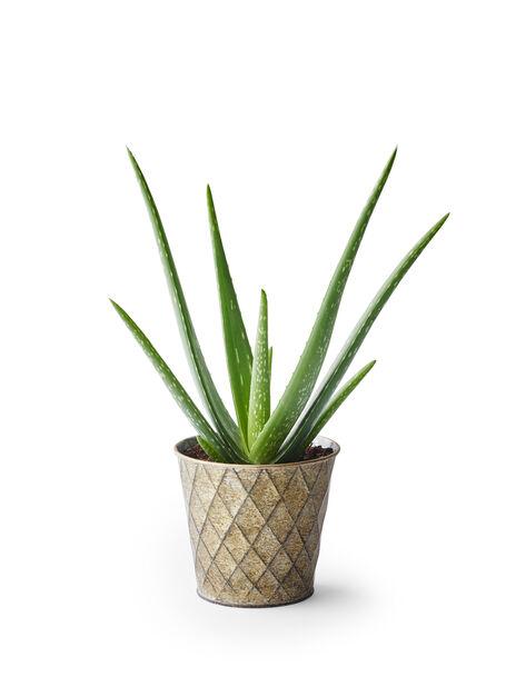 Äkta aloe, Höjd 25 cm, Grön