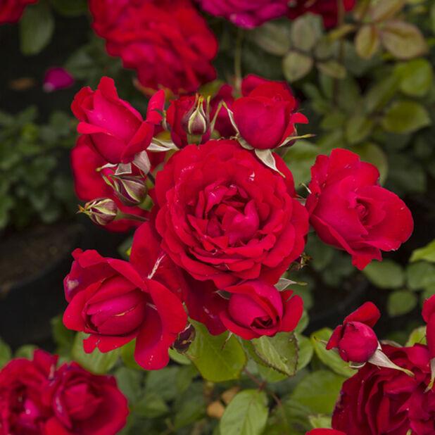 Röd ros på stam, Höjd 60-80 cm, Röd