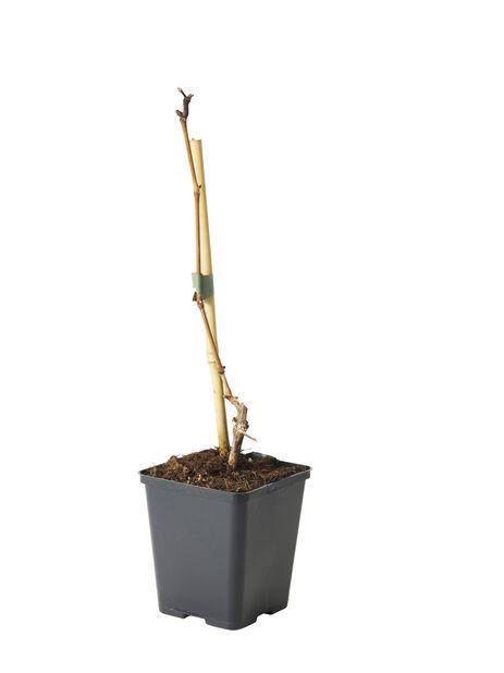 Vindruva 'Mika', Ø12 cm, Blå