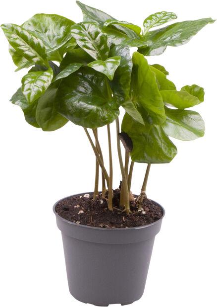 Kaffeplanta mini, Höjd 10 cm, Grön