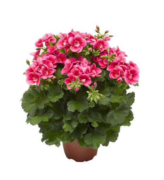 Pelargon 'Pretty Little Pink Splash', Ø14 cm, Rosa